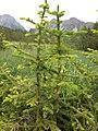 Paluaccio Oga vegetazione abete.jpg