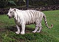Pana'ewa Rainforest Zoo--Namaste the White Tiger 18 (4471618177).jpg