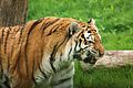 Panthera tigris at the Bronx Zoo 013.jpg