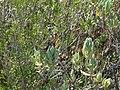 Papallona de l'arboç (Charaxes jasius) al Puig Francàs P1250460.jpg