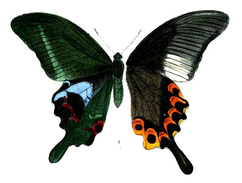 File:PapilioArcturusM 490 1.jpg