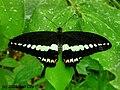 Papilio demolion.jpg