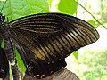 Papilio helenus - Red Helens mating 05.JPG