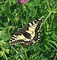 Papilio machaon KarlstTrGeb Saupurzel Schwalbenschwanz Mai 09.jpg