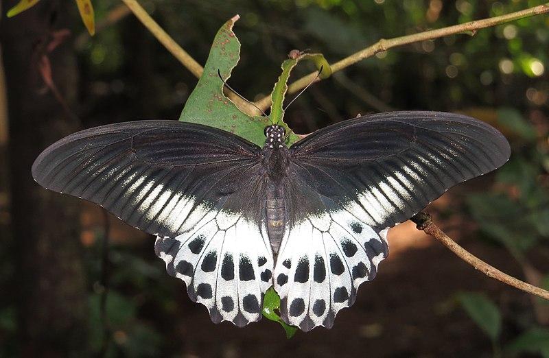 File:Papilio polymnestor – Blue Mormon 07.jpg