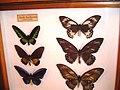 Papilionidae8.jpg