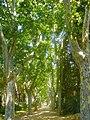 Parc Samà, avinguda amb plàtans prop de la casa - panoramio.jpg
