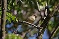 Pardal-comum, (Passer domesticus), female (51218123452).jpg