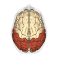 Parietal lobe - superior view.png