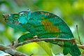 Parson's Chameleon (Calumma parsonii) (10313932313).jpg