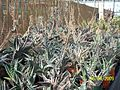 Partridge Breast Aloe (Aloe variegata) (3424130743).jpg