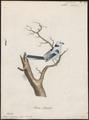 Parus cyaneus - 1786-1789 - Print - Iconographia Zoologica - Special Collections University of Amsterdam - UBA01 IZ16100139.tif