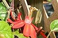 Passiflora Peter Lawrence 1zz.jpg