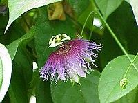 Passiflora serratifolia1