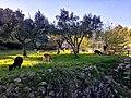 Pastoreio na Ribeira das Vinhas, Cascais. 03-18 (01).jpg