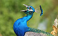 Peacock calling.jpg