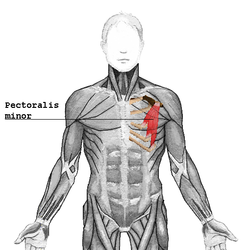 The Pectoralis Minor