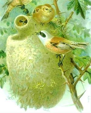 Penduline tit - Nest of Remiz pendulinus