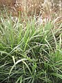 Pennisetum purpureum jeunes plantes.jpg