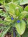 Pentaglottis sempervirens 125859637.jpg