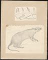 Perameles nasuta - 1700-1880 - Print - Iconographia Zoologica - Special Collections University of Amsterdam - UBA01 IZ20300072.tif