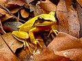 Perereca - Hypsiboas albopunctatus.jpg