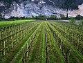 Perspective on next fall's grape harvest - panoramio.jpg