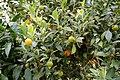 Pescia, Giardino degli agrumi hesperidarium, di oscar tintori vivai, 25 citrus madurensis foliis variegates.jpg