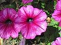 Petunia sp. (Middletown, Ohio, USA) 4 (49113156443).jpg