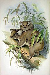 Dessin d'une mère koala sur une branche d'eucalyptus avec son enfant sur le dos