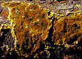 Phellinidium weirii cropped.jpg