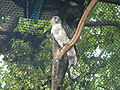 Philippine Eagle - Pithecophaga jefferyi - Ninoy Aquino Parks & Wildlife Center 02.jpg