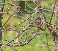 Phoenicurus ochruros female in Aveyron (5).jpg