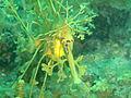 Phycodurus eques P2023169.JPG