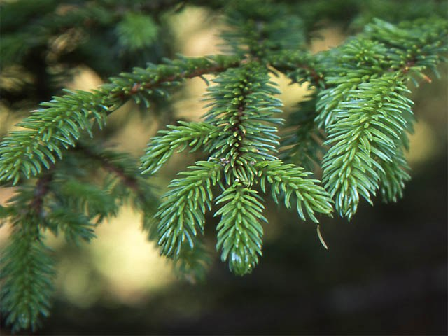 Picea glehnii1
