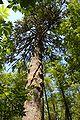 Picea sitchensis Tolovana Park Oregon.jpg
