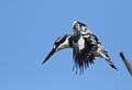 Pied Kingfisher, Ceryle rudis, at Pilanesberg National Park, South Africa (28442946896).jpg
