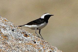 Pied wheatear species of bird