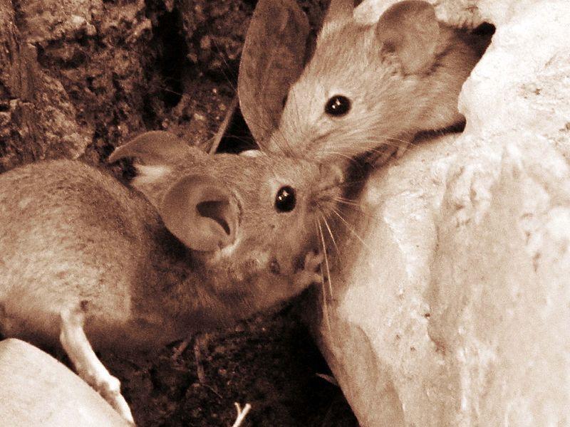 עכברי ירושלים