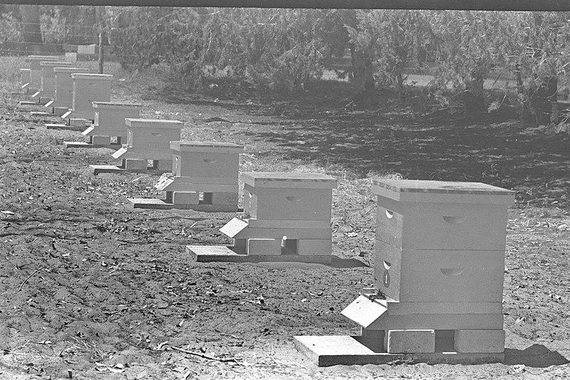 מקוה ישראל 1949