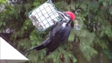 File:Pileated Woodpecker eating suet.ogv