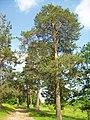 Pine-trees - panoramio.jpg