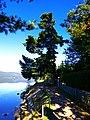 Pine At the Lake - panoramio.jpg