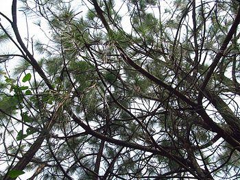 Pine tree @Bhalkimachan.jpg