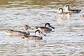 Pink-eared Duck (Malacorhynchus membranaceus) (8079568250).jpg