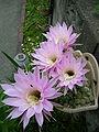 PinkCactusFlower 3.JPG