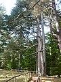 Pinus Nigra ssp nella Riserva di Fallistro.jpg