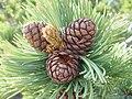 Pinus albicaulis Sniezko3.jpg
