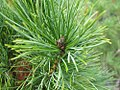 Pinus cembra Pygmaea 2zz.jpg