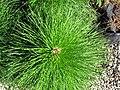 Pinus elliottii (slash pine) 3 (27625089189).jpg